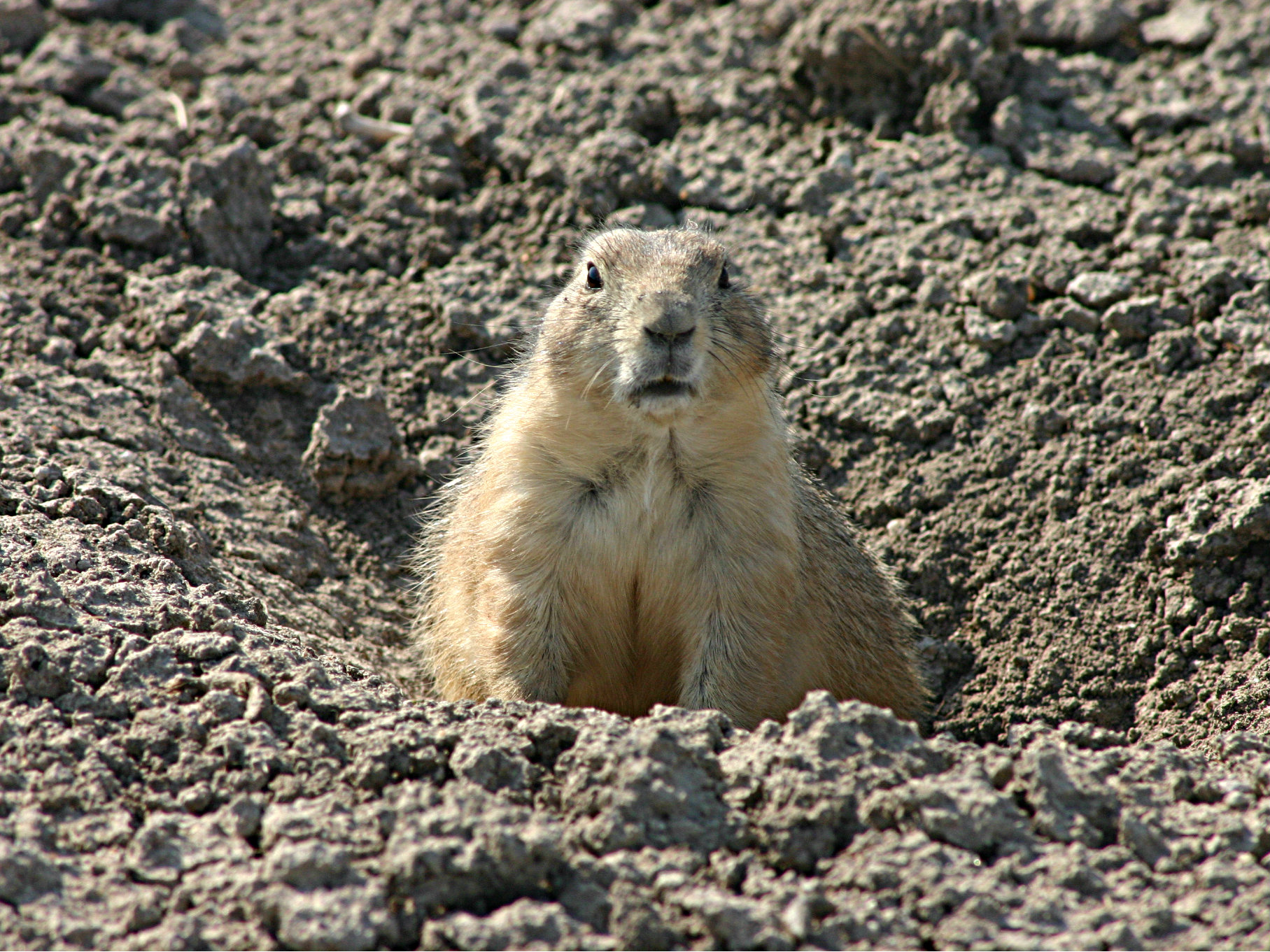 <p>Prairie dogs, like this one guarding the entrance to its hole, can be carriers of plague.</p>