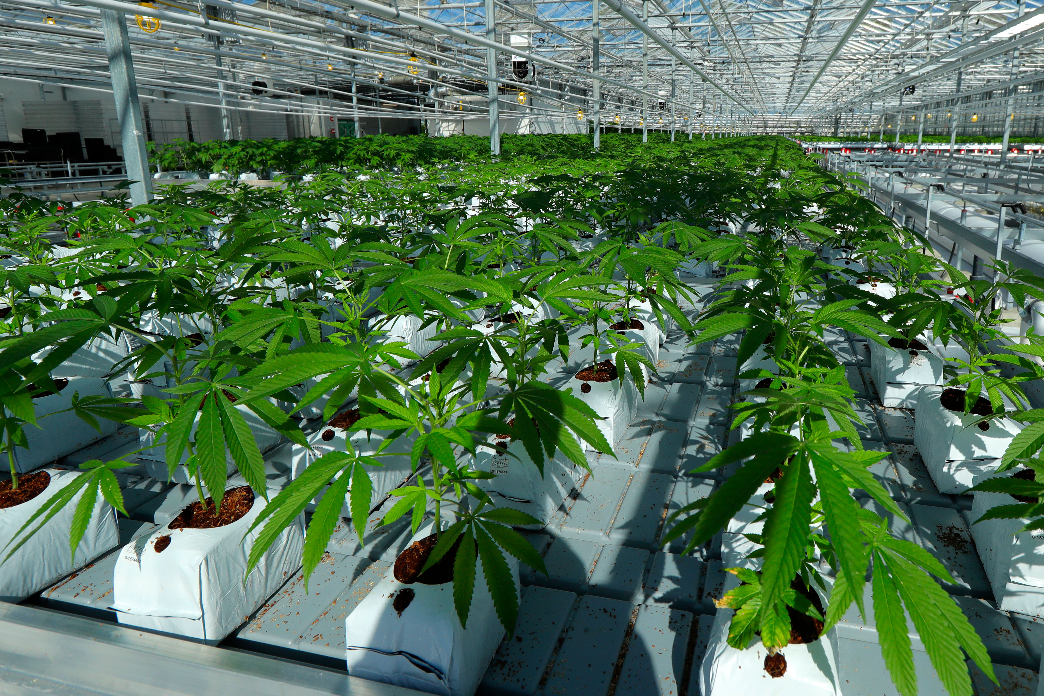 <p>Marijuana plants grow in a massive tomato greenhouse being renovated to grow pot in Delta, British Columbia, that is operated by Pure Sunfarms, a joint venture between tomato grower Village Farms International, and a licensed medical marijuana producer, Emerald Health Therapeutics.</p>
