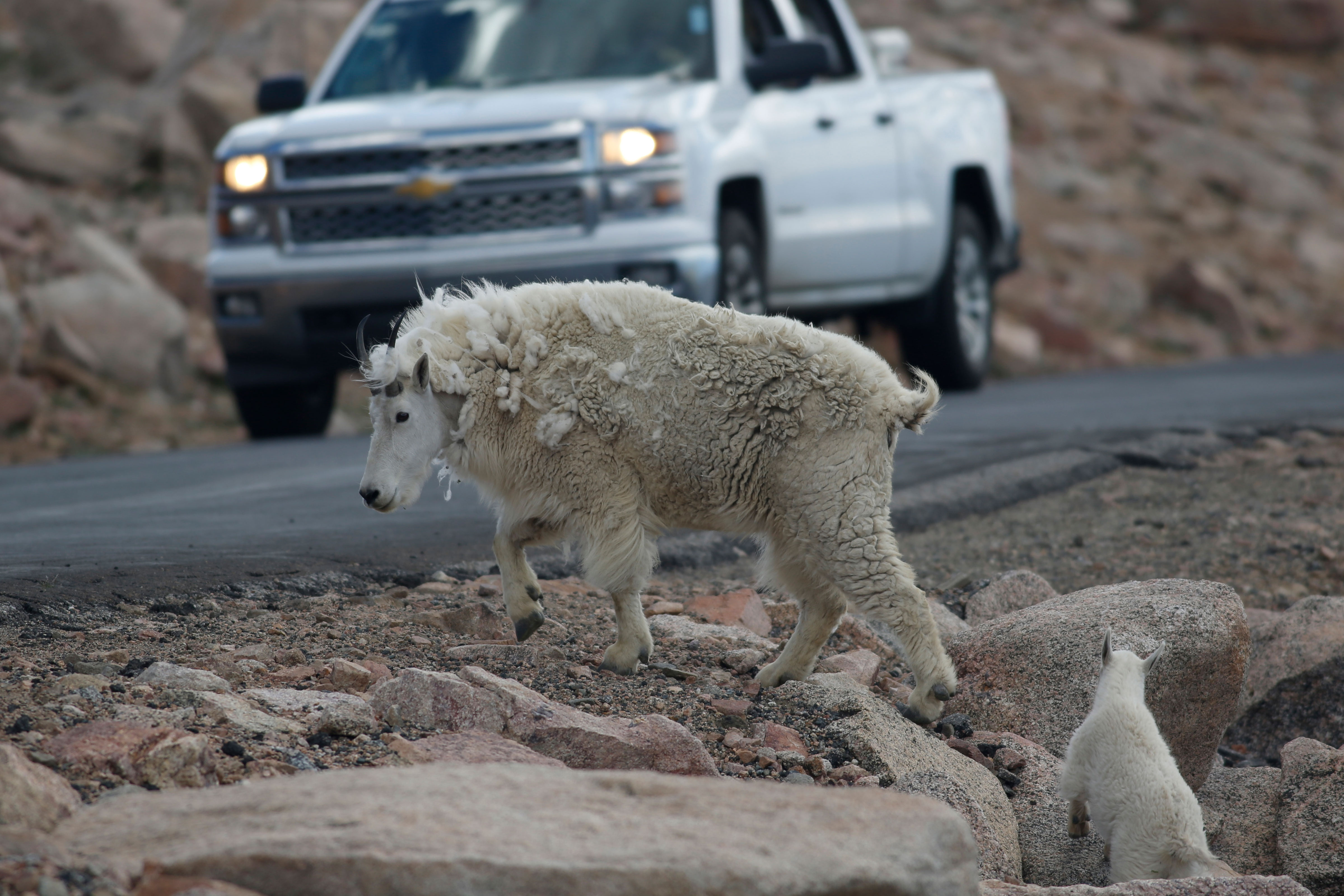 <p>A mountain goat leads its' kid across the Mount Evans Scenic Byway just below the summit near Idaho Springs, Colo., July 2016.</p>