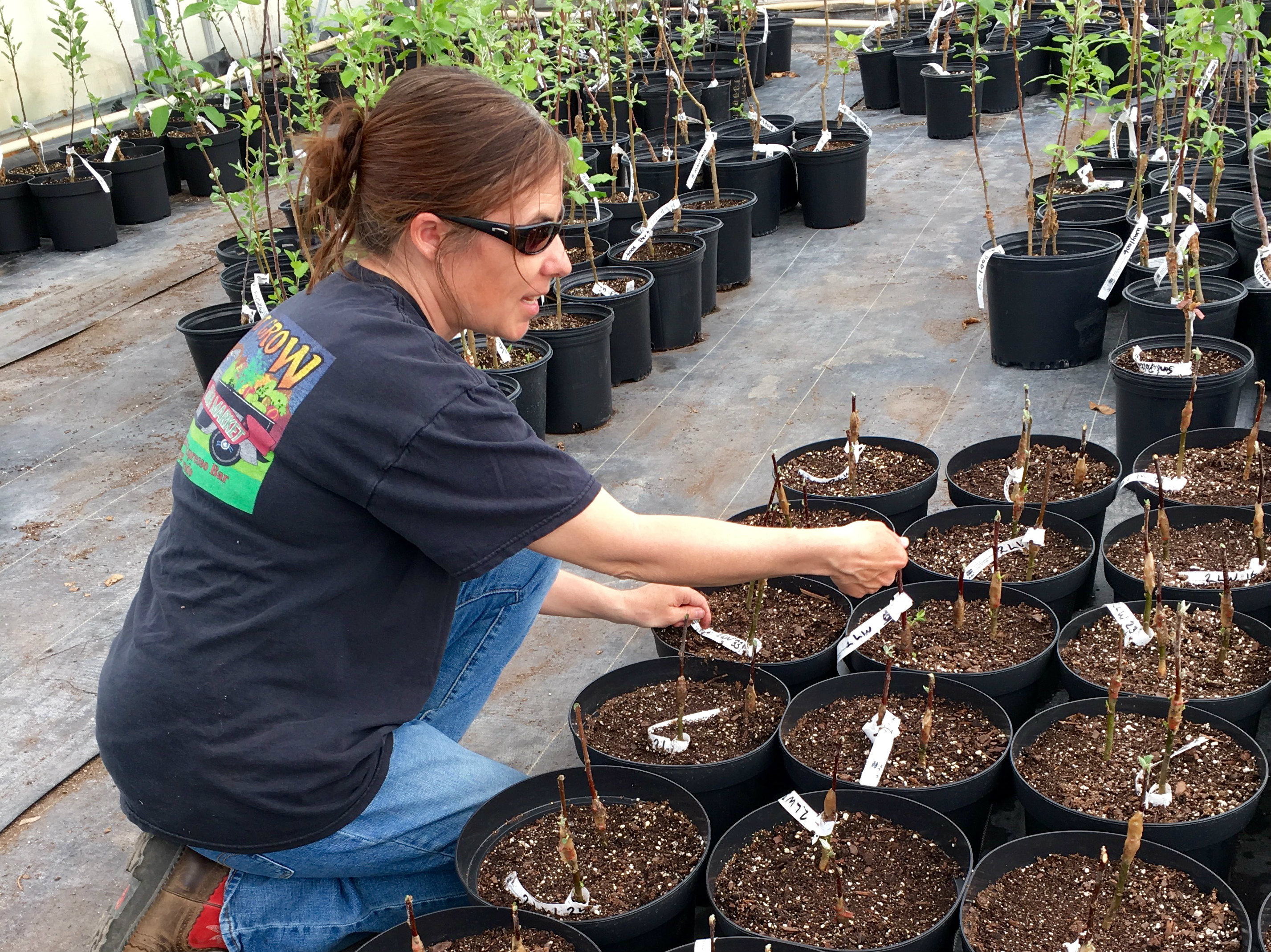 """<p>Addie Schuenemeyer tends to grafted """"babies"""" of rare apple trees.The trees will be planted at local schools or sold to help re-establish the heritage apple varieties.</p>"""