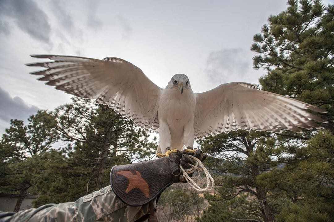 Air Force Academy Animal Mascot Aurora, a rare white gyrfalcon.
