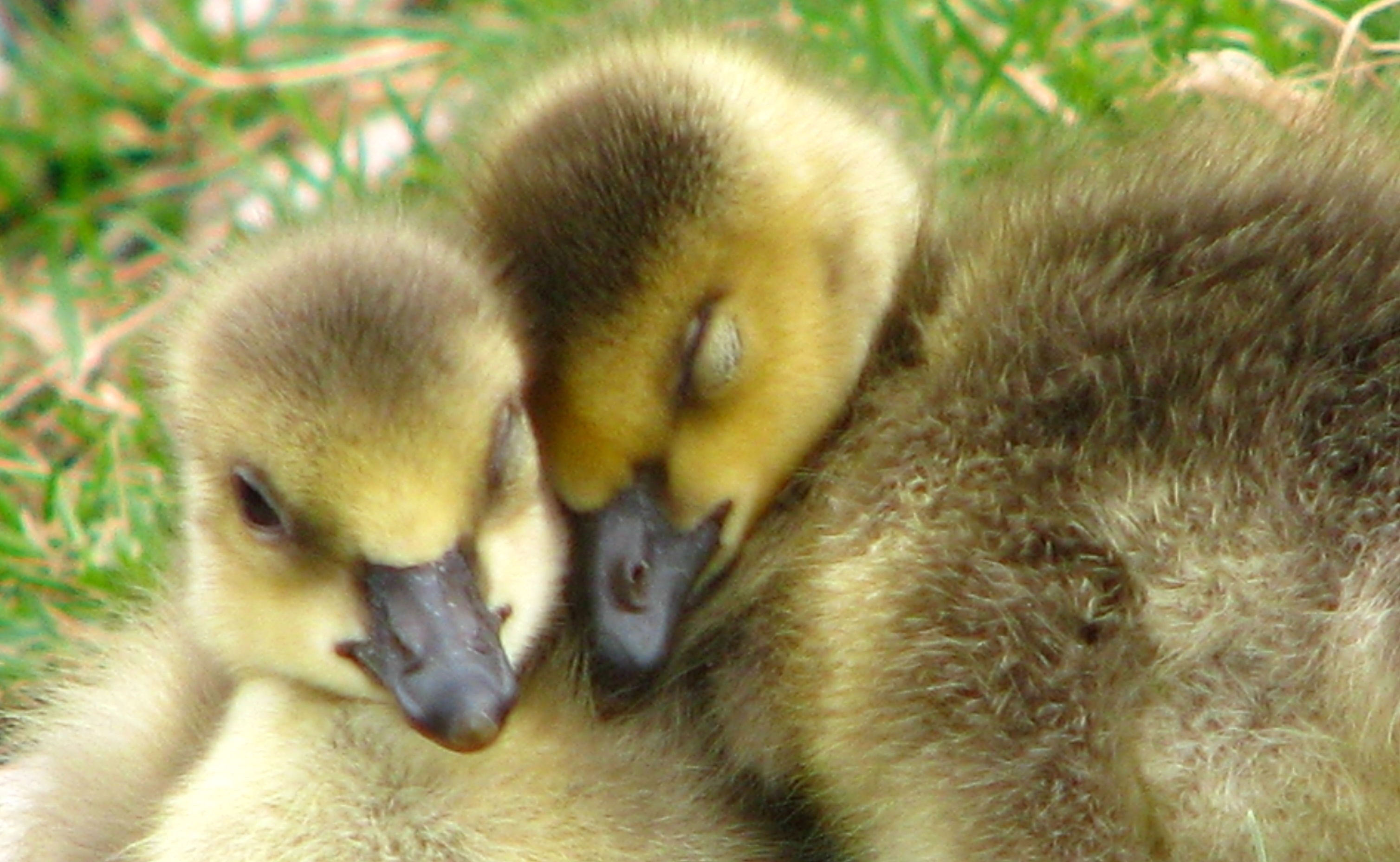 """<p>Abandoned goslings can be """"adopted"""" by other geese families with the help of wildlife rehabilitators. After the adoption, the stray baby goosemay even snuggle up with their new siblings, as seen here.</p>"""