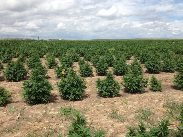 <p>Industrial hemp grows on a Colorado farm field.</p>