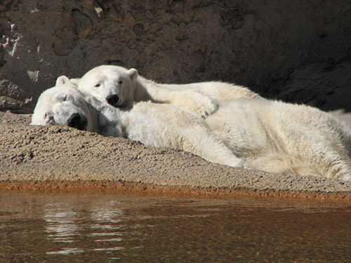 <p>The Denver Zoo's polar bear, Cranbeary, snuggles up behind her mate, Lee.</p>