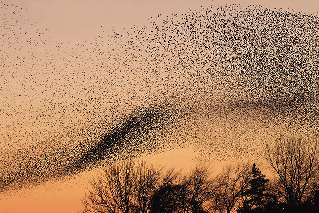 <p>A murmuration of starlings. </p>