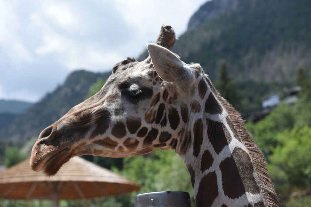 <p>Tamu the reticulated giraffe is photographedat Cheyenne Mountain Zoo in Colorado Springs. Tamudied at 32 years old and was the oldest giraffe in North America.</p>