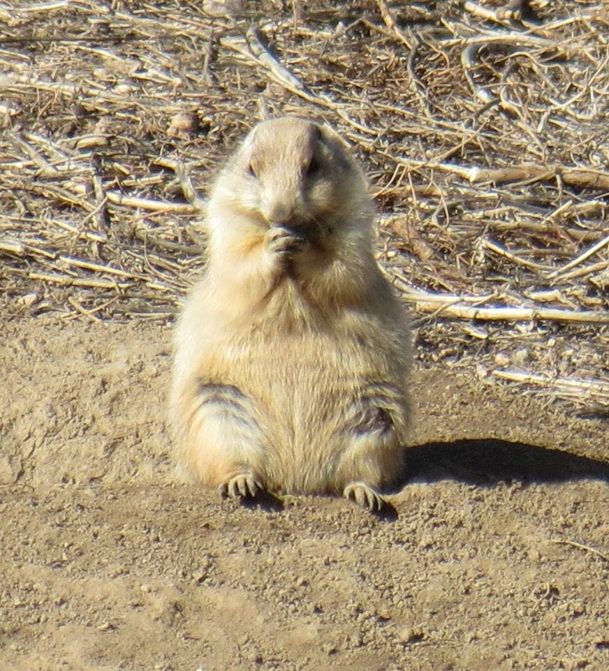 <p>A prairie dog enjoys a snack at the future site of The Promenade development project in Castle Rock, Colo.</p>