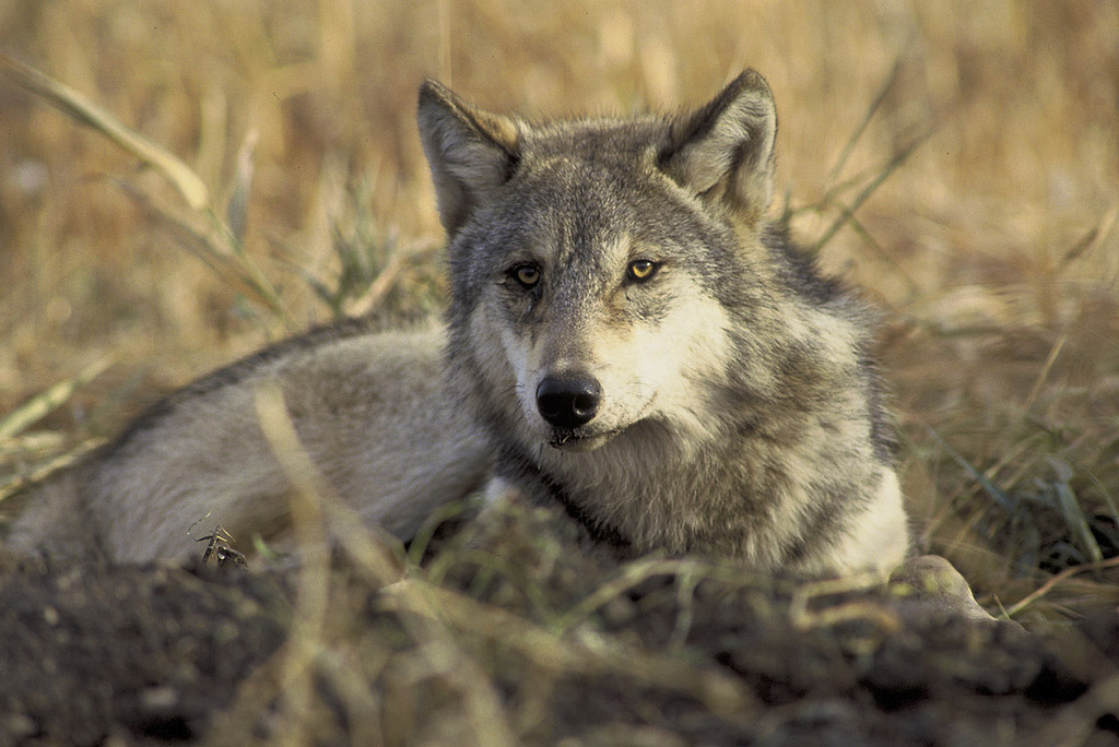 A gray wolf. The species islisted as an endangered species under state and federal law.
