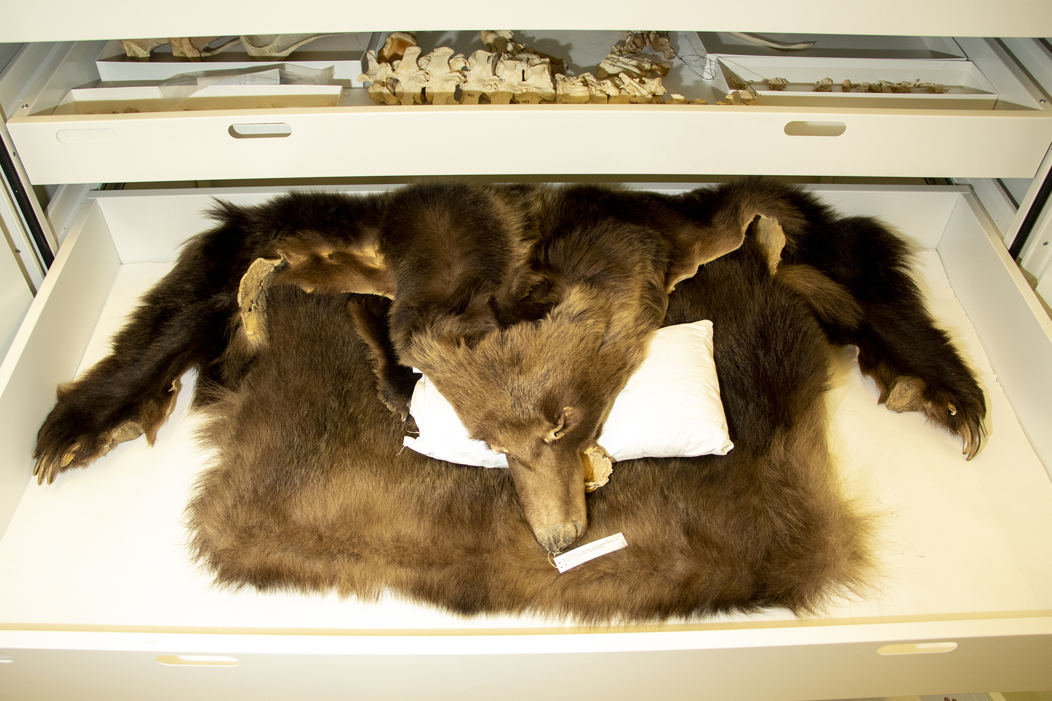The bones and pelt of the last grizzly bear killed in Colorado, housed at the Denver Museum of Nature and Science, June 12, 2019.