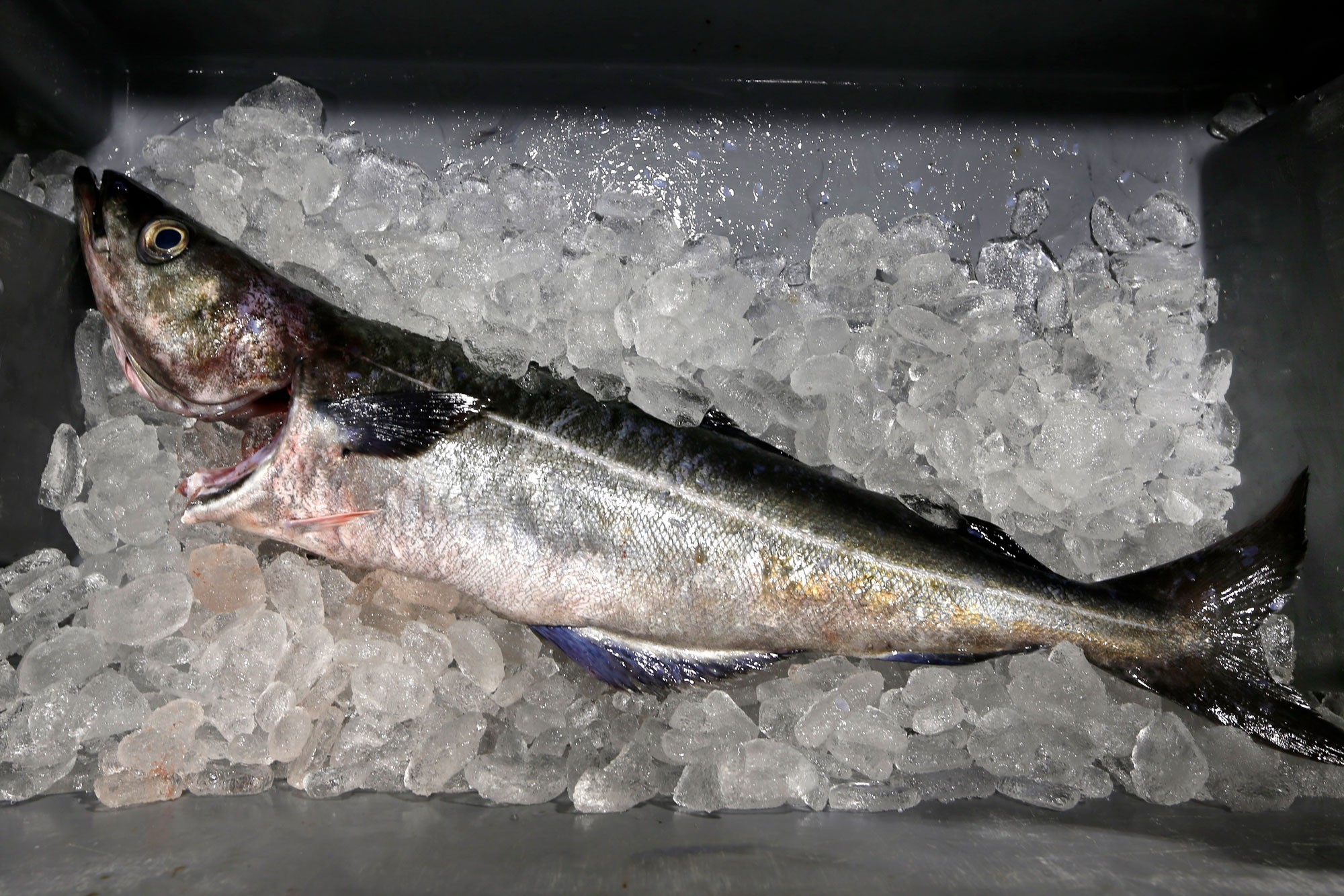 <p>In this Thursday, May 5, 2016 photo an Atlantic pollock sits on ice at the Portland Fish Exchange in Portland, Maine.</p>