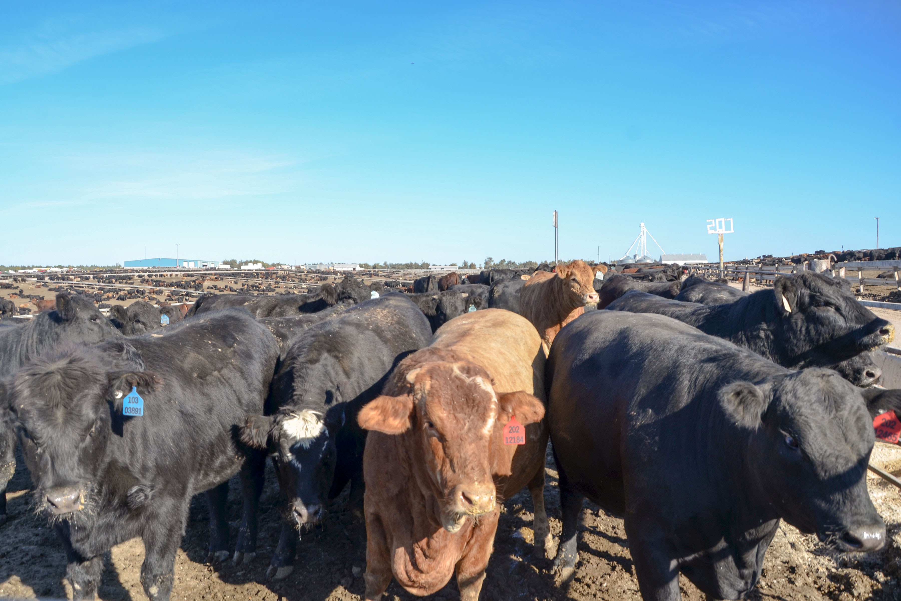 Cattle at 5 Star Feedlot outside of Bethune, Colo. The facility can hold up to 28,000 cattle at a time.