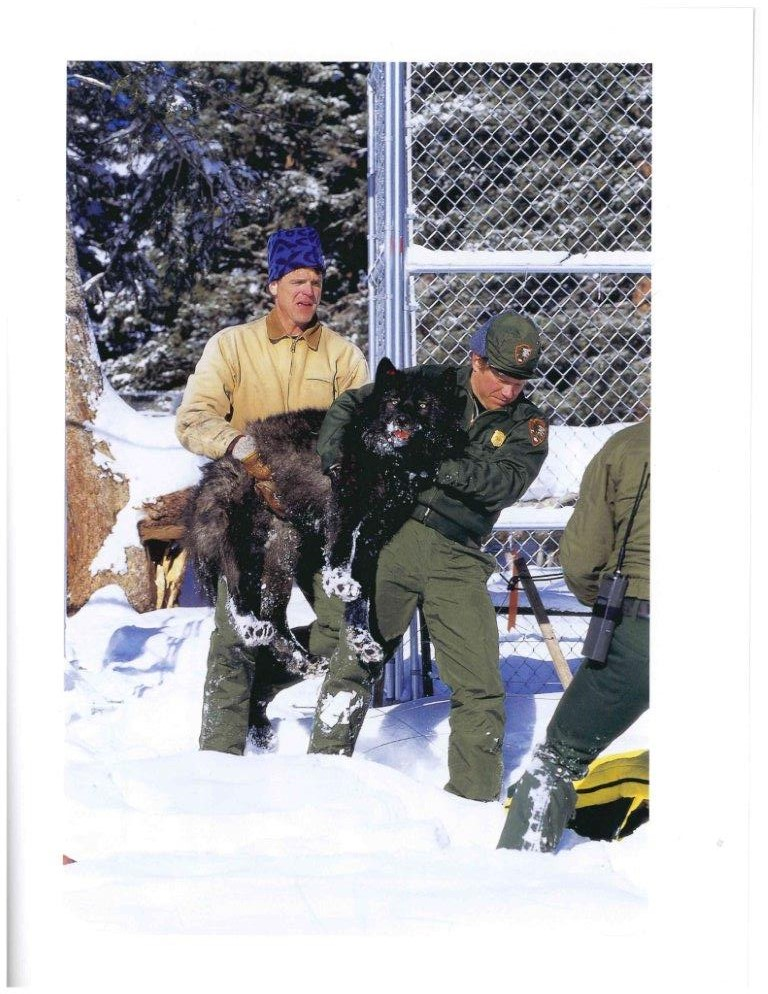 Mike Phillips (right) and Doug Smith carrying the back half of male wolf #3 from Yellowstone's Rose Creek pen