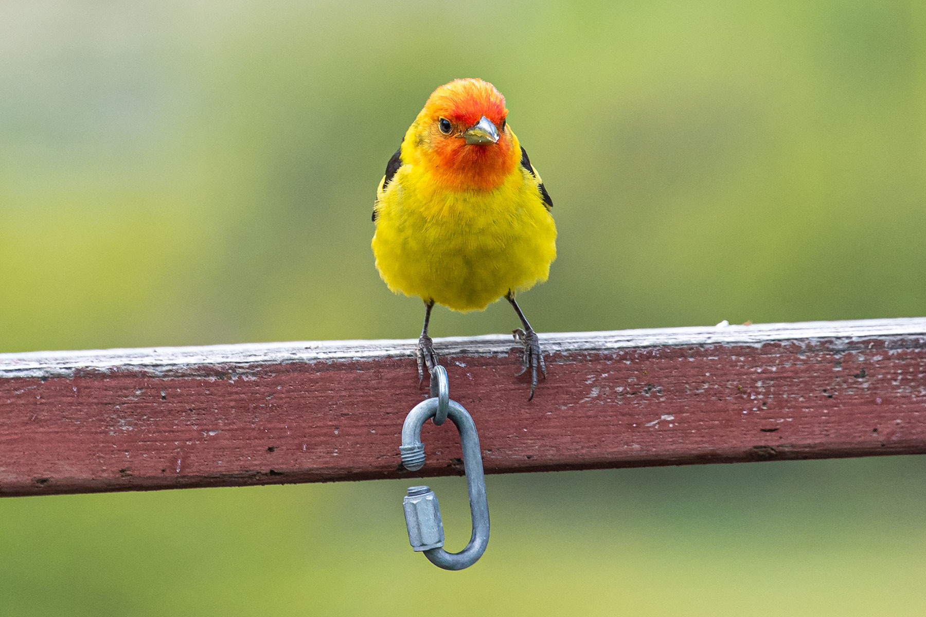 <p>A Western Tanager rests on the deck of Ann Ramsey's home in the Western Slope. Because of the cold, wet spring in Colorado in 2019, more birds not normally seen at lower elevations in the state have been making appearances at neighborhood bird feeders across the state.</p>