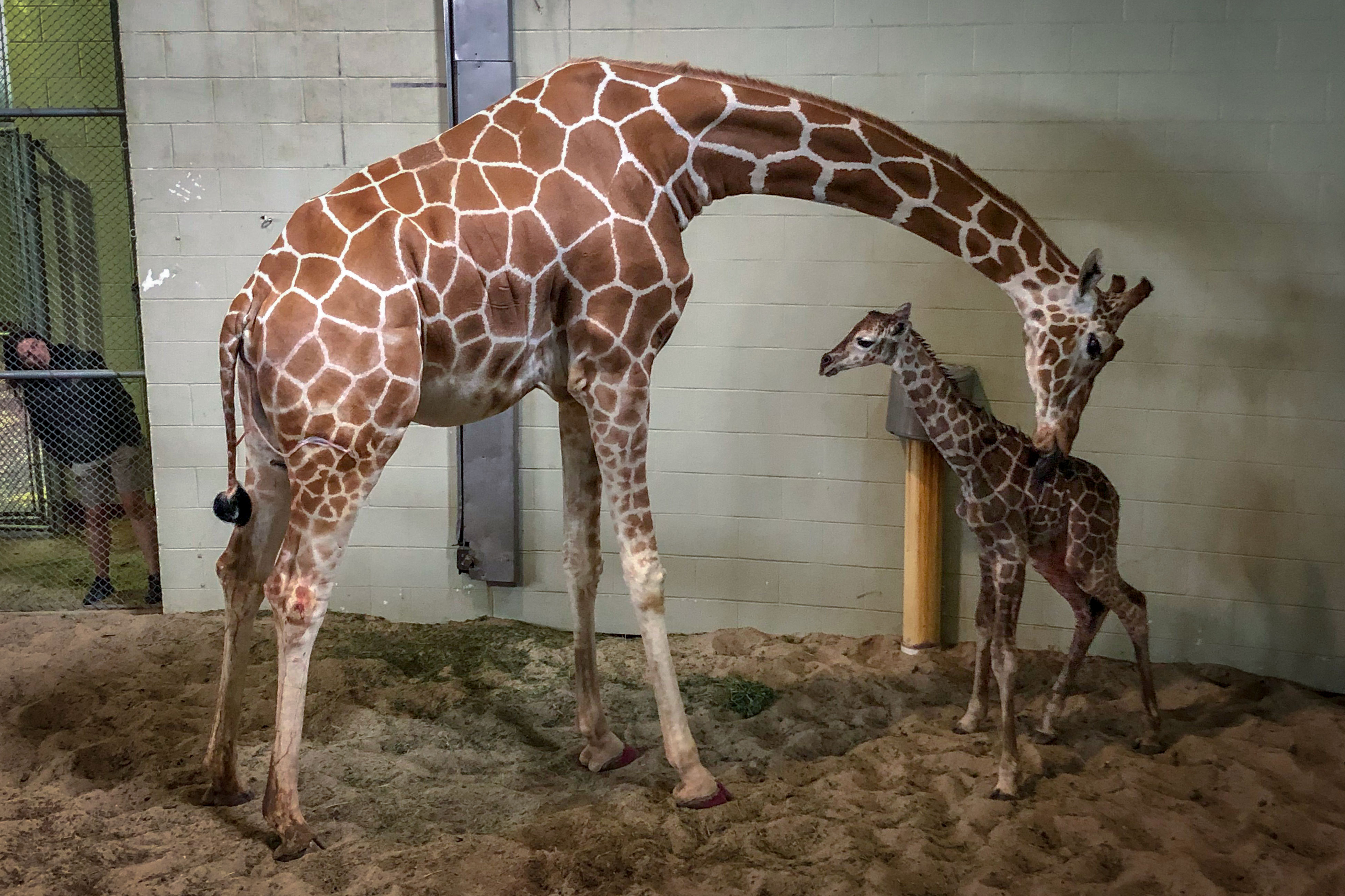 Msitu, a 10-year-old reticulated giraffe, with her new born calf.