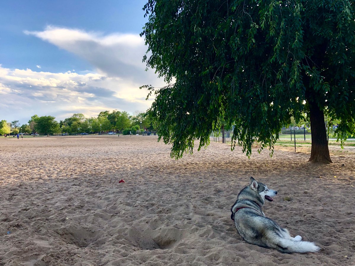 Digging holes at Stapleton Dog Park is hard in the summer. Wearing two fur coats is harder. Just ask Juneau, Hart Van Denburg's husky.