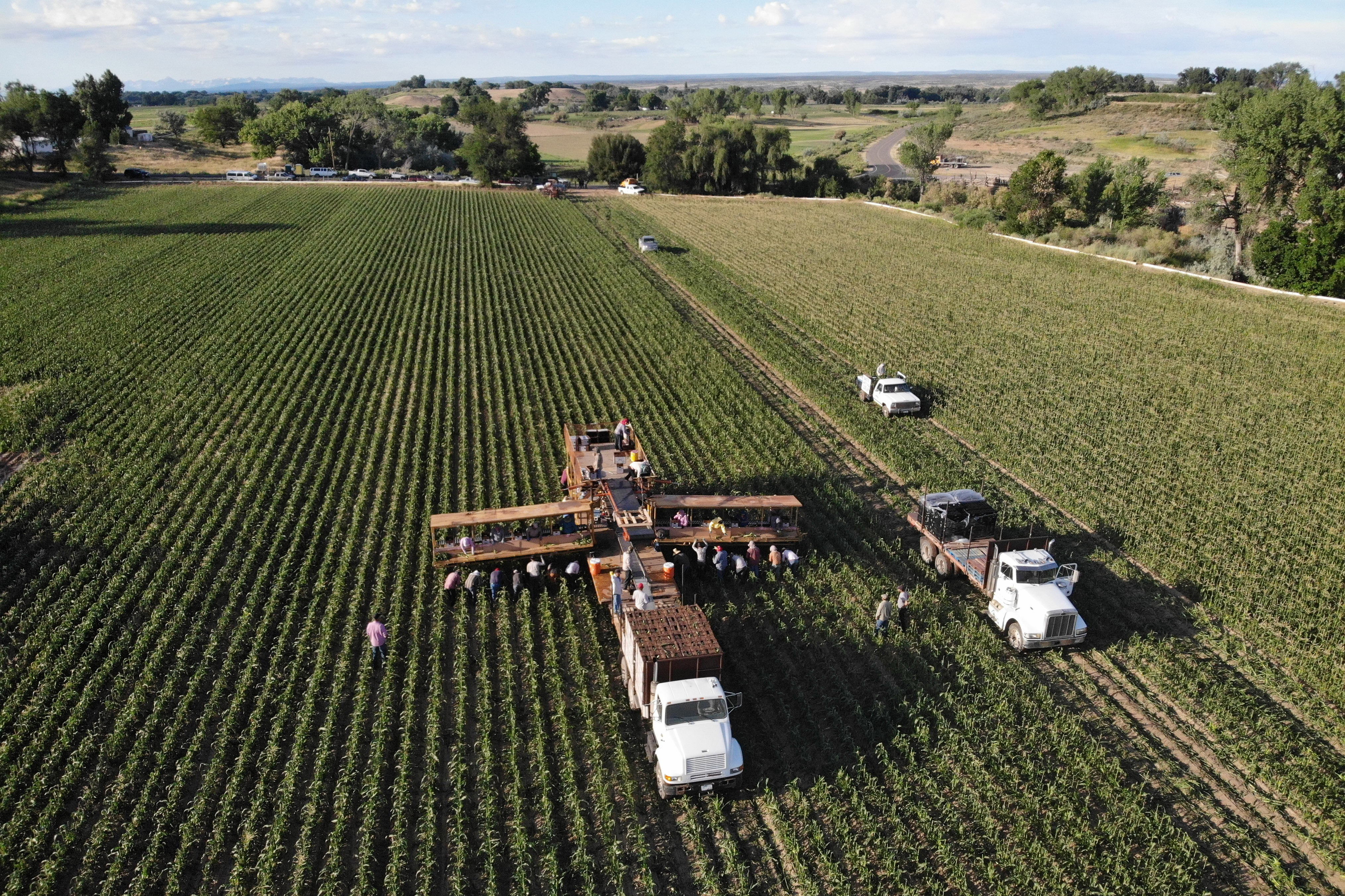 A harvest crew with Tuxedo Corn Company removes the first ears of the company's Olathe Sweet Sweet Corn harvest from a field west of Pea Green Colorado Wednesday July 24, 2019. (William Woody, Special to the Sun)