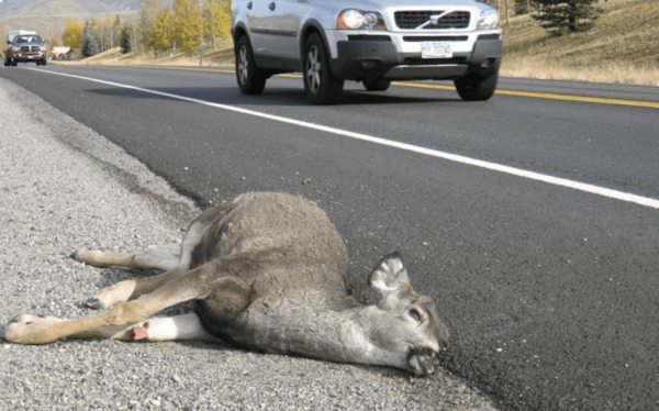 In most of the West, a deer killed by a vehicle, such as this one in Idaho, could be harvested for its meat. But not in Nevada and Wyoming.