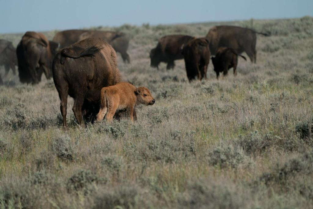 The proposed 3.2 million acre wildlife preserve will be a new kind of national park. One that is free to the public and privately-funded by both small donors and some of the richest people in the world. American Prairie does not plan to give its private lands to the federal government.