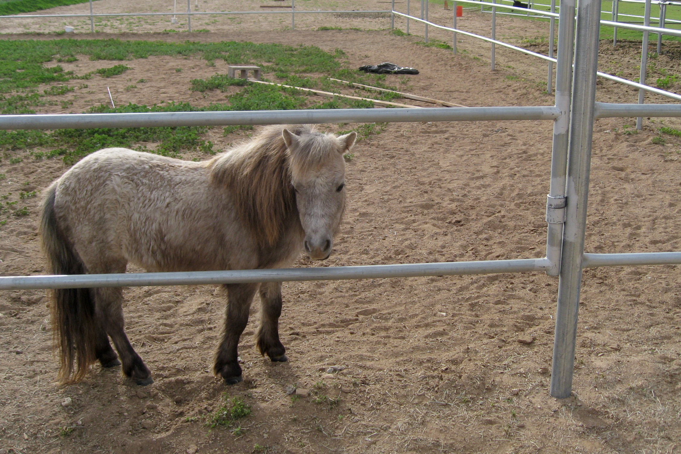 A miniature horse in an enclosure in Waddell, Arizona, March 21, 2010.