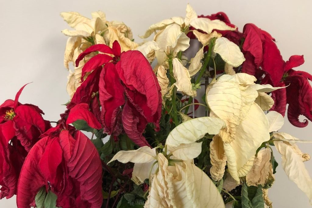 The CPR newsroom poinsettia has seen better days and didn't quite make it to Christmas, Dec. 23, 2019.