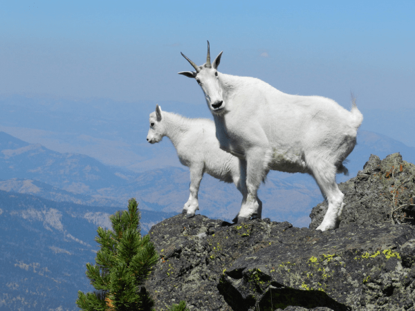 Nanny mountain goat with her kid on Sepulcher Mountain in Yellowstone National Park.