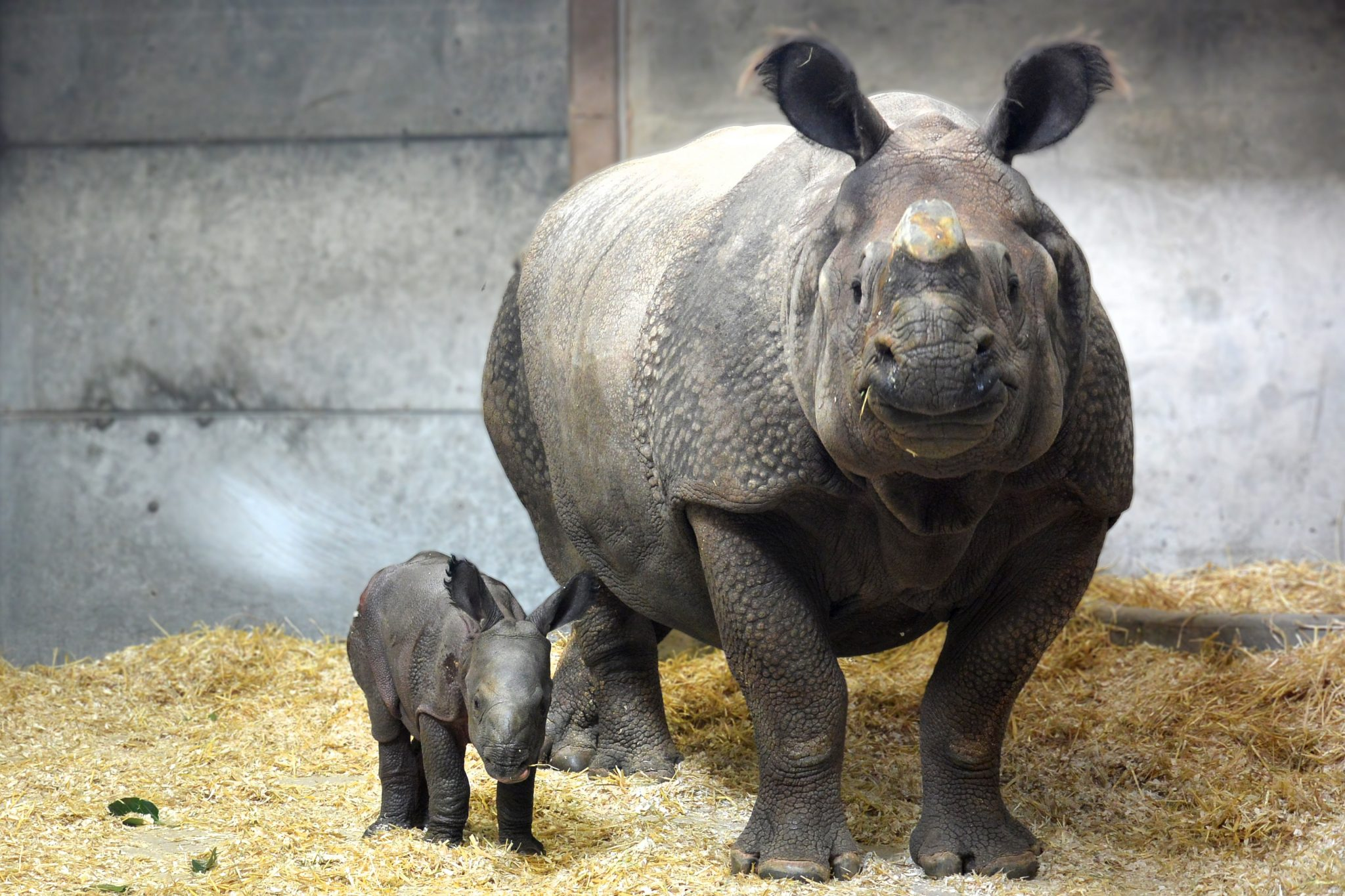 Indian one-horned rhino Tensing and her new baby at the Denver Zoo.