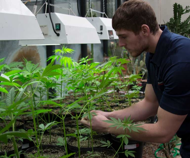 Colorado State University-Pueblo will offer a major in cannabis biology and chemistry beginning this fall