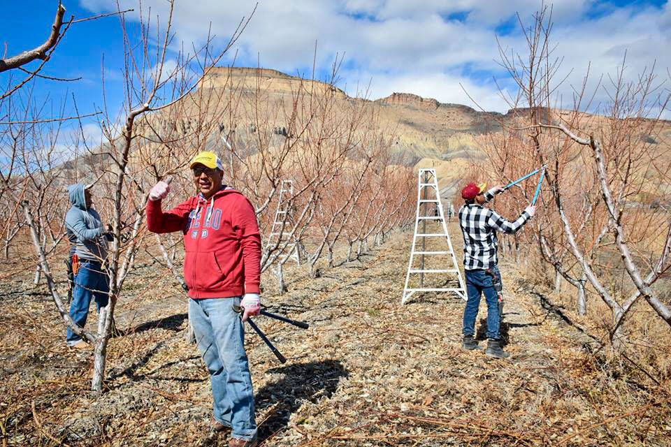 Visiting migrant workers prune orchards under Mount Garfield, outside of Palisade, Colo.