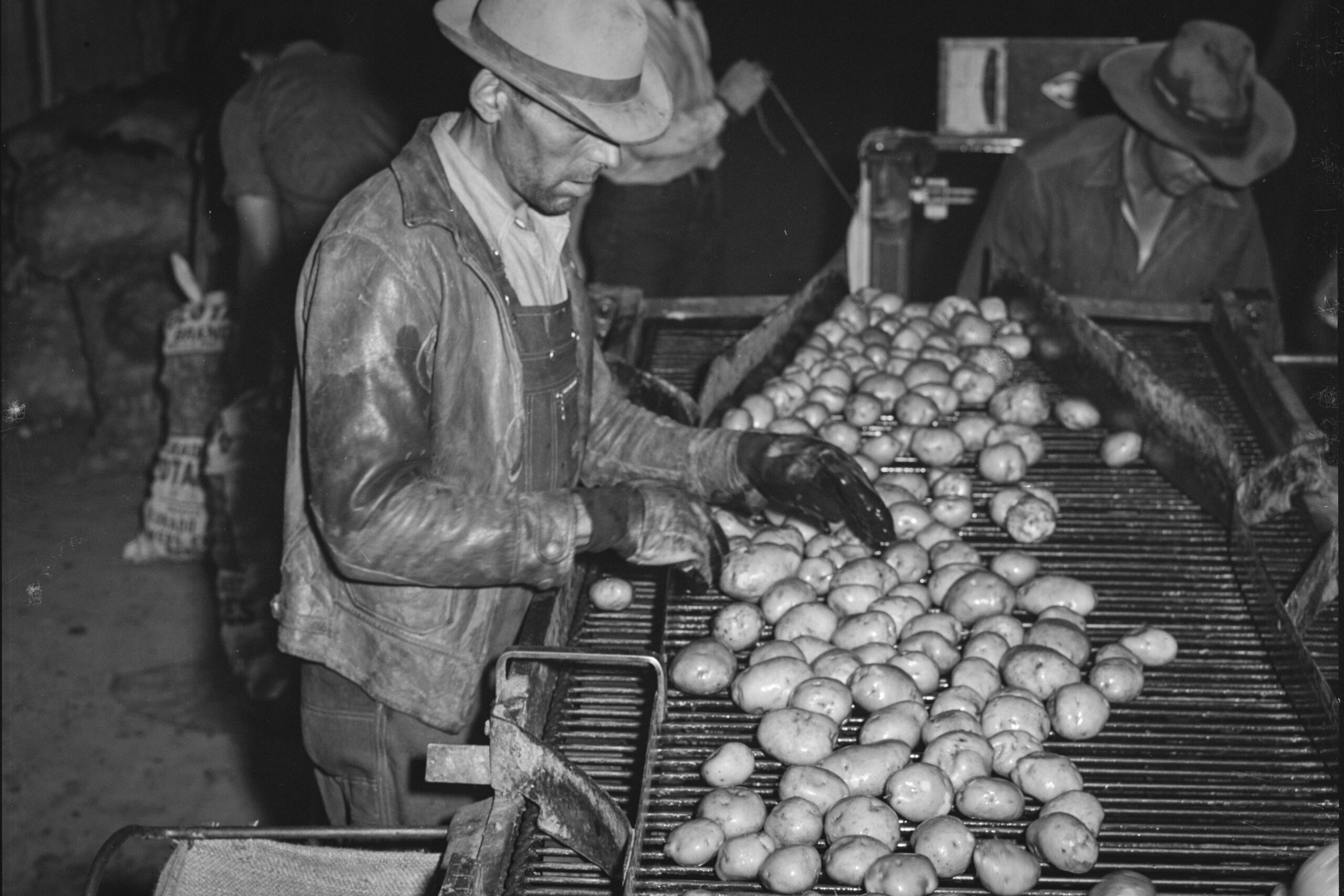 A worker inspects washed potatoes in Monte Vista, Colo., October 1939.