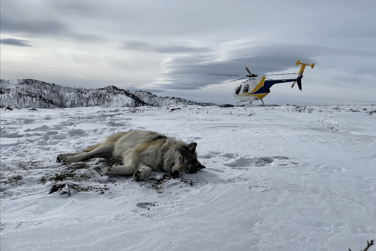 Colorado wildlife staff watch over a gray wolf that was tranquilized and fitted with a GPS collar after it was spotted in north-central Colorado.