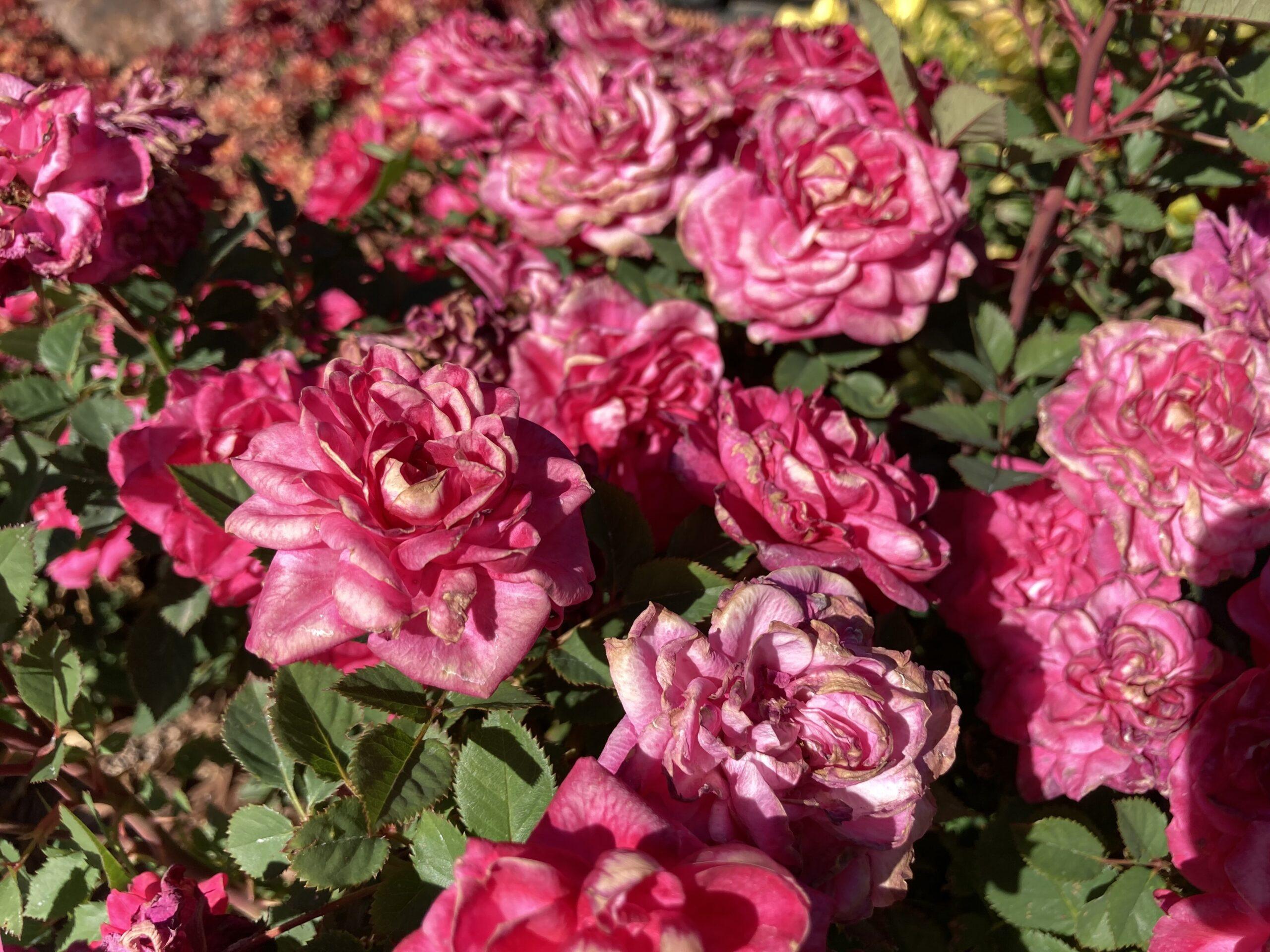Roses rose bush