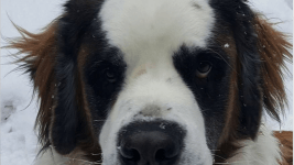 An image of Geno the missing St. Bernard, as he appeared on Bretlyn Schmidtmann's Facebook page. (Bretlyn Schmidtmann /Facebook)