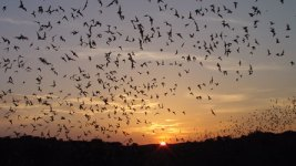 Mexican free-tailed bats emerging from the natural entrance and flying to the nearest water. (NPS/Nick Hristov)