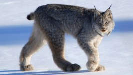 I'm a Canada lynx, baby. (Keith Williams/Flickr)