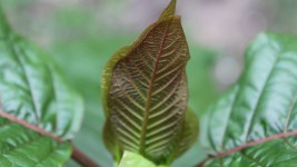 A kratom leaf. (ThorPorre/Wikimedia Commons)
