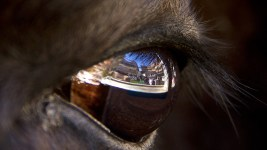 Folsom Field, as seen reflected in Ralphie the mascot's eye. (Kevin J. Beaty/Denverite)  college football; sports; cu; boulder; buffalos; kevinjbeaty; denverite; colorado; ralphie;