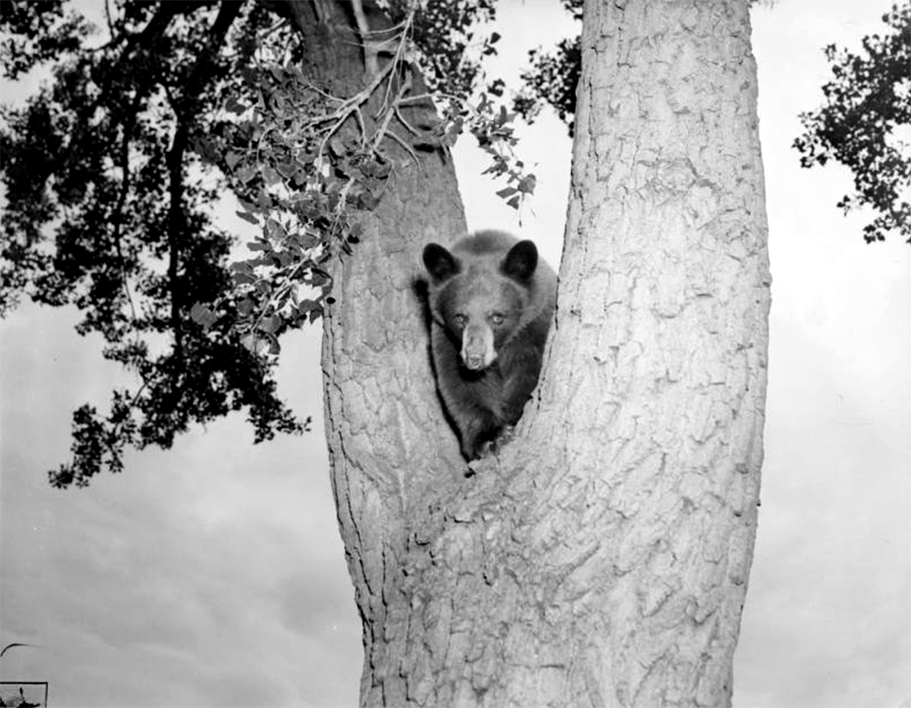 View of a bear in the crux of a tree, Colorado. Between 1910 and 1930. (Harry Mellon Rhoads/Denver Public Library/Western History Collection/Rh-4486)  historic; denver public library; dpl; archive; archival; denverite