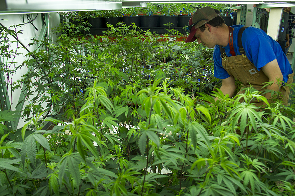 Grower Scott Lee tends to young marijuana plants at Verde Natural's grow facility. (Kevin J. Beaty/Denverite)