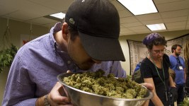 Verde Natural CEO Rudy Ellenbogen inspects a bowl of trimmed marijuana buds at his Northeast Park Hill grow facility. (Kevin J. Beaty/Denverite)