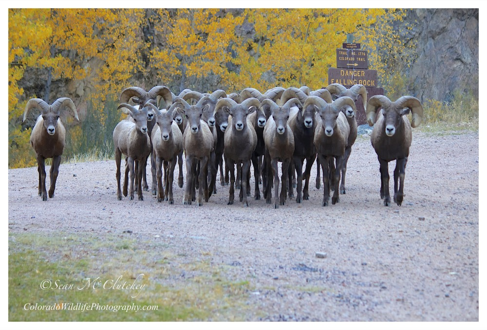 The whole team's here: Big-horn sheep at Waterton Canyon. (Courtesy of Sean McClutchey, all rights reserved.)