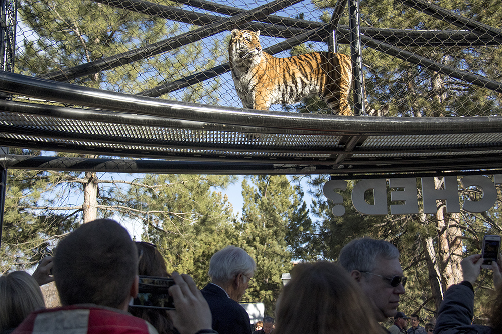 A tiger above guests on a catwalk, which zookeepers say the animals feel is a safe place. The opening of The Edge, a new tiger exhibit at the Denver Zoo. (Kevin J. Beaty/Denverite)  animals; denver zoo; tigers; kevinjbeaty; denver; denverite; colorado;