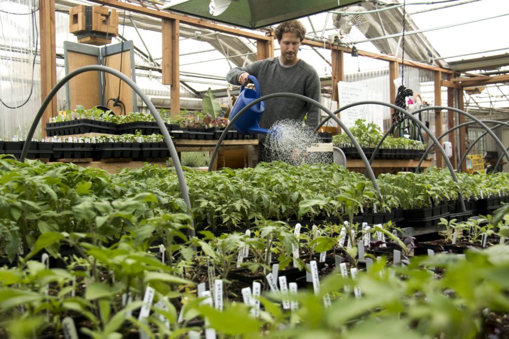 Nathan Hanna waters plants inside the GrowHaus in Elyria Swansea. (Kevin J. Beaty/Denverite)  growhaus; elyria-swansea; denver; colorado; kevinjbeaty; denverite; food desert; agriculture;