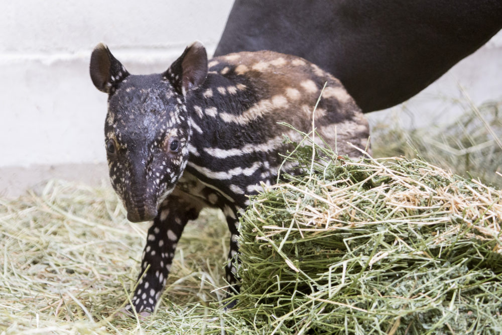 Umi the baby tapir. (Courtesy of the Denver Zoo)