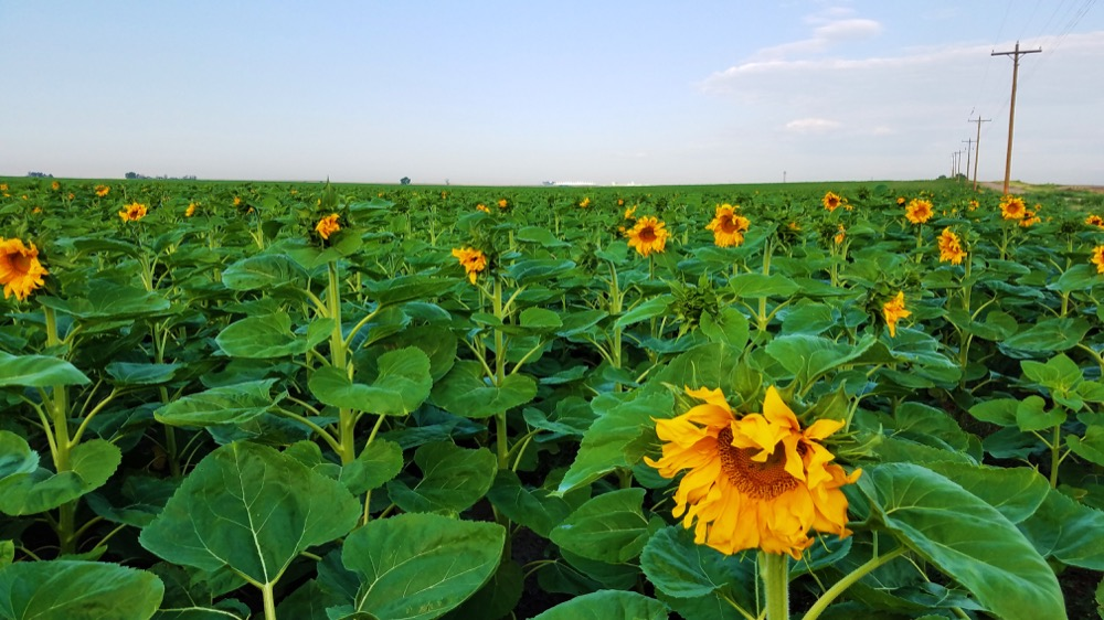 Some of the first sunflowers blooming near Denver International Airport on Aug. 9, 2017. (Courtesy Kevin Henry)