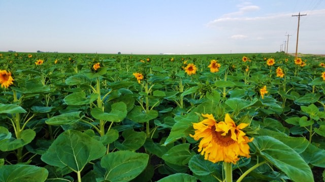 Colorado S 2017 Sunflower Season Starts Now Here S How To See Them Near Dia Without Angering Airport Security Denverite The Denver Site