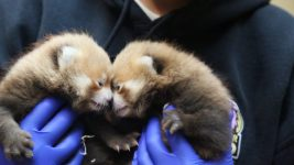 Newborn baby pandas at the Denver Zoo. (Courtesy of Denver Zoo)