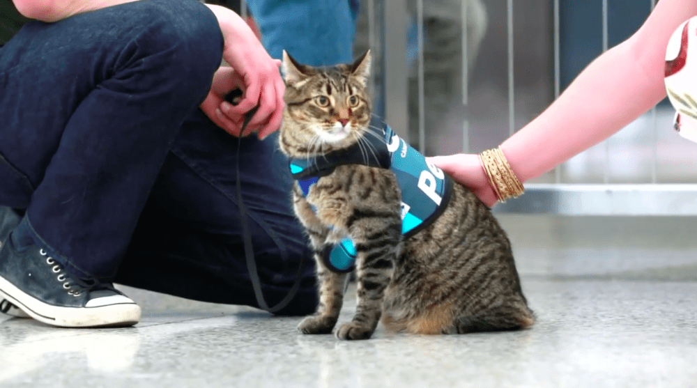 Xeli, the first cat in Denver International Airport's Canine Airport Therapy Squad (CATS). (Courtesy of Denver International Airport)