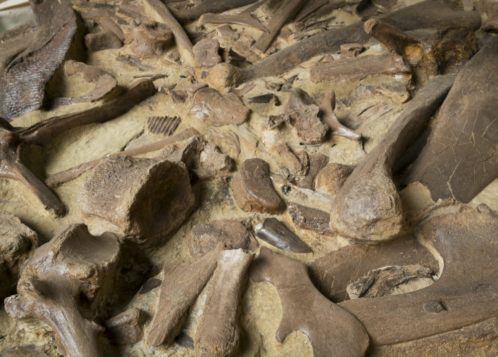 Large bone donation from John Hankla to Denver Museum of Nature & Science. (Courtesy of DMNS)
