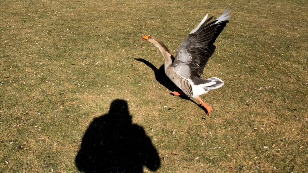 A greylag goose reacts to a photographer in City Park, Nov. 29, 2018. (Kevin J. Beaty/Denverite)