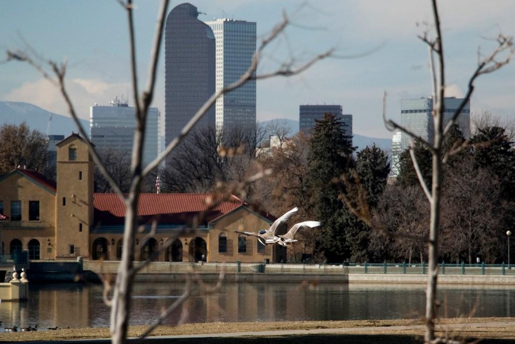 Greylag geese fly through City Park, Nov. 29, 2018. (Kevin J. Beaty/Denverite)
